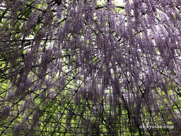 河内藤園の藤のドームの様子