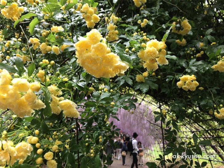 河内藤園の花の様子