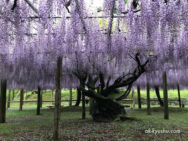 河内藤園の藤の木の様子