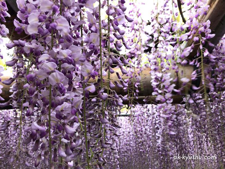 河内藤園の藤の様子