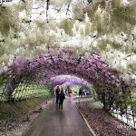 河内藤園の藤のトンネルの様子