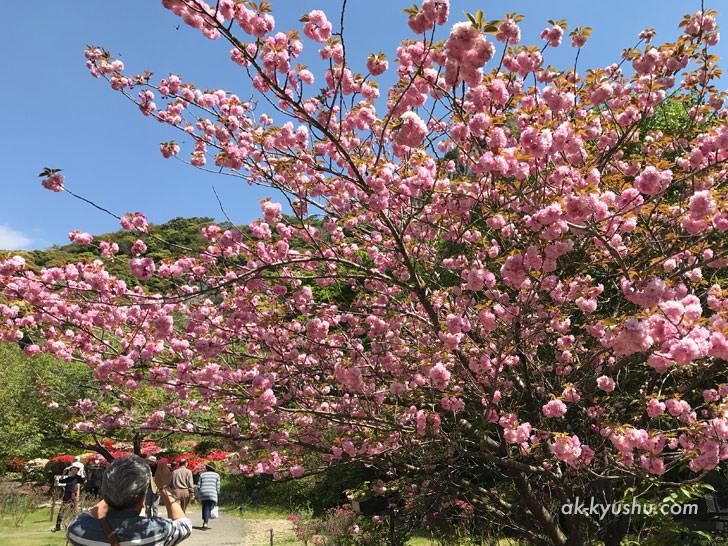 写真:御船山楽園 八重桜