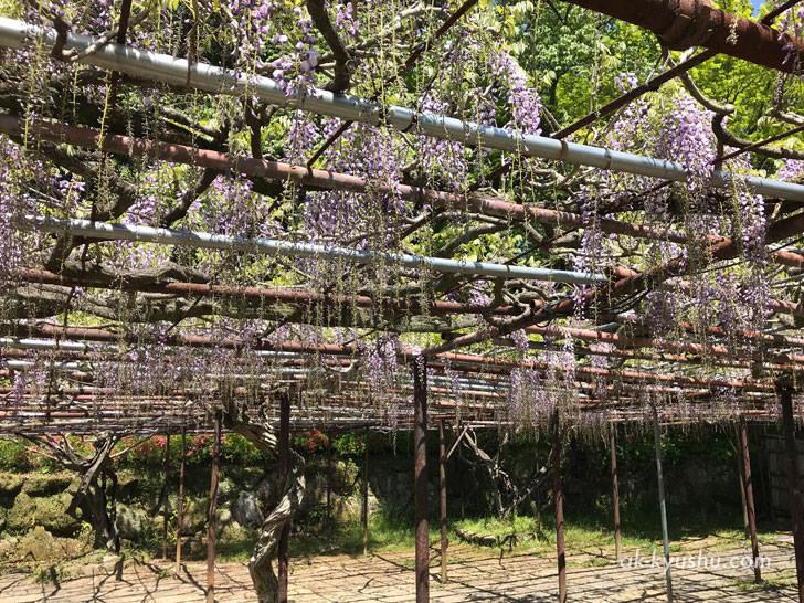 写真:御船山楽園 まだ2~3分咲の大藤