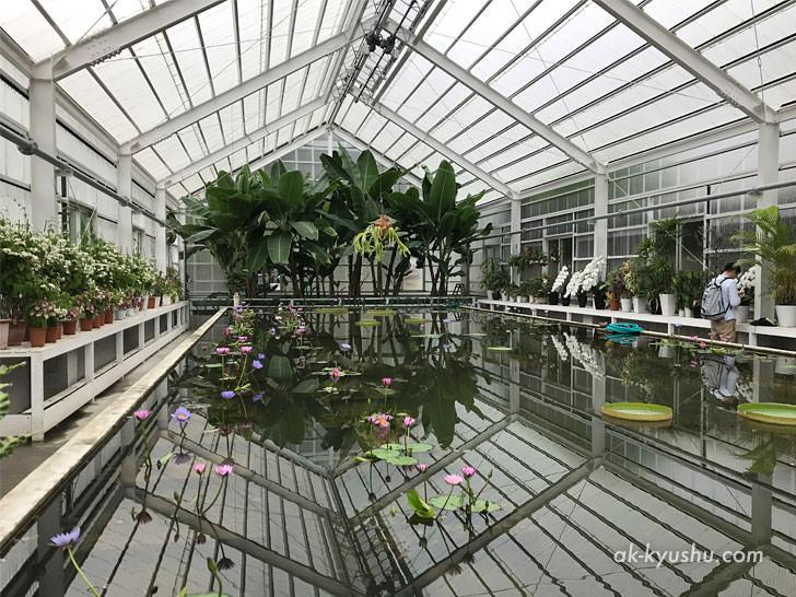 写真:大分別府 海地獄の温室で蓮の花を栽培